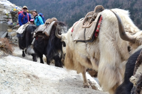Yaks enroute to Everest Base Camp, April 2014